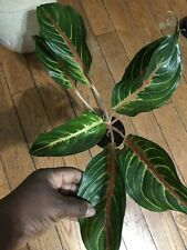 Aglaonema Chinese Ever Green Live Plant You Will Receive One Similar Like This