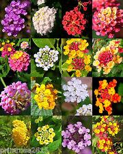 Lantana MIX, Shrub Verbenas Butterfly Garden FLOWERS Ham And Eggs seed 50 seeds