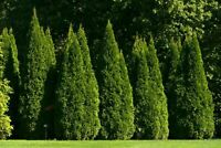 Thuja Occidentalis - THUJA TREE Seeds tree garden hedgerow - 300 SEEDS