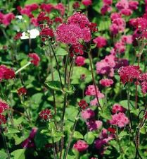 RED AGERATUM small clusters of fluffy flowers cottage plant in 135mm pot