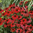 50 Bright Red Coneflower Seeds Echinacea Flowers Perennial Seed 18 US SELLER