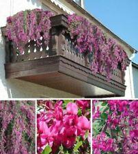 Buschklee frostharte Blumen winterharte Pflanzen für den Balkon Garten Topf Deko