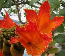 50 Samen Afrikanischer Tulpenbaum (Spathodea campanulata), Blüten bis 10 cm lang