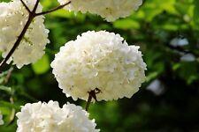 20 Semillas de Hortensia Blanca (Hydrangea Viburnum)