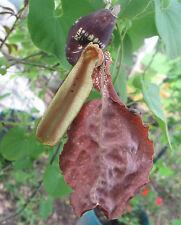 Aristolochia galeata Nova Odessa 10 seeds