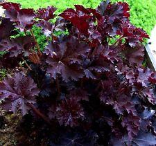 EMPEROR'S CLOAK CORAL BELLS Heuchera Red Purple, White Flowers, Drought 30 Seeds