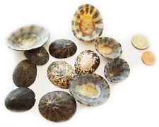 "50 Natural Brown Limpet Shells Seashells 1.25-2.5"" (33-63mm) Craft Beach Coastal"