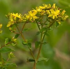 Wildflower Seeds - Square St John's Wort - 3000 Seed