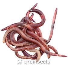 Dendrobena - groß 0,5 kg / ca. 315 Stk. - Riesen-Rotwürmer - Regenwürmer
