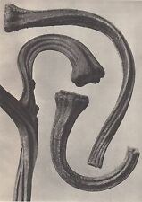 Karl Blossfeldt - Wunder In Der Natur 1942 Vintage Gravure - Cucurbita #108