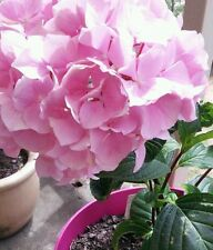 Hydrangeas macrophylla 6 potted plants Mopheads Lacecaps all colours