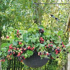 3 x Black Cascade 9cm pot- First Hanaging Basket blackberry
