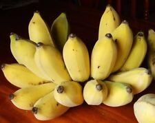 1 Bulb Musa (ABB group) Dwarf Nam Wa banana Plant + Phytosanitiary Certificate #