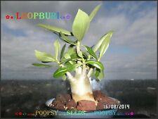 A22✿⊱ ADENIUM ARABICUM DESERT ROSE ❀ LOOPBURI ❀ HOUSE PLANT BONSAI CAUDEX SEEDS