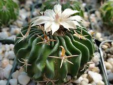 Echinofossulocactus Tricuspidatus Cactus Cacti Succulent Real Live Plant