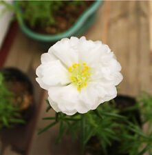 White Sun Plant Seed 200 Seeds Portulaca Grandiflora Heronsbill Flowers Hot A043