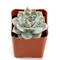 "Succulent Live Plant - Echeveria Pinktips - Home Garden Rare Plant in 2"" Planter"