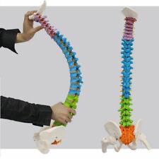 Squelette Humain Colonne Vertébrale Bassin Couleur Flexible Anatomie Médecine