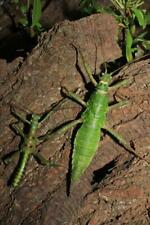 Eggs of Mearnsiana bullosa x 30/ stick insect / new species