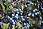 Sloe, Blackthorn Prunus spinosa 20 seeds
