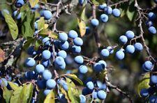 Sloe, Blackthorn (Prunus spinosa) 20 seeds