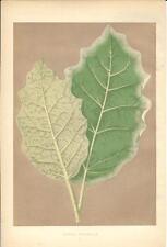 Stampa antica BOTANICA Foglie SOLANUM MARGINATUM 1868 Old antique print leaves