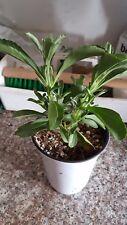 "Stevia Sweet Leaf plant - 6"" Tall -   Ship in 3"" Pot"