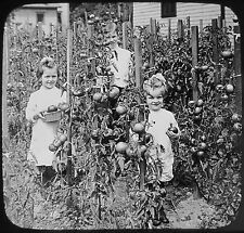 Glass Magic Lantern Slide TOMATOES GROWING IN HOME GARDEN C1910 PHOTO USA