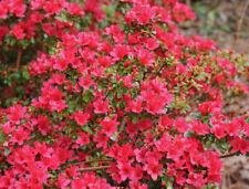 Azalea Hino Crimson 20-30cm Tall in 2L Pot,Small Bright Crimson Flowers