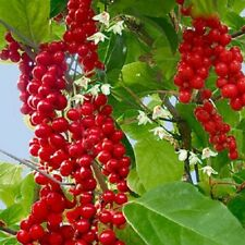 25 Schisandra, Chinese Magnolia Vine seeds, climbing vine, five flavor fruit