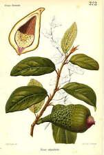 Piante - cromolitografia originale francese fine '800 - Ficus stipulata
