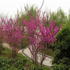 PINK REDBUD EASTERN FLOWER TREE - RED BUD - 50+ FRESH SEEDS CERCIS canadensis