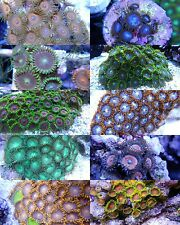 *SCF* Mixed Reef Frag Pack  13 Live LPS, Zoas & Softie coral frags