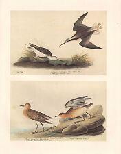 VINTAGE JOHN JAMES AUDUBON BIRD PRINT ~ WILSON'S PHALAROPE ~ BREASTED SANDPIPER