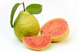 30 Graines de Goyavier- fruits plantes jardins - méthode BIO
