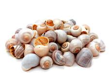 Hermit Crab Shells, (Qty 8) Apple Snail SeaShells Shells, Free Free Shipping