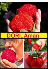 🍓 Fragaria Giant - Größte Erdbeere der Welt 🍓 Super Mega Süß! Frische SAMEN