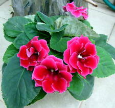 Gloxinia Seeds  Speciosa Bonsai Balcony Flower  Mixed color, 100 seeds