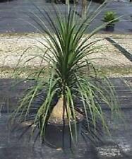 """~PONYTAIL PALM~ VERY TOUGH HOUSE PLANT SUCCULENT 1"""" CAUDEX  9-10 inch PLANT"""