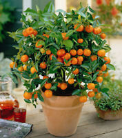 SUBSTRATE for CITRUS Growing Media / Highest Quality 1/2 litre,FREE SHIPPING!!!