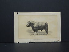 Cows Bulls Cattle Dairy Farming 1888 Engraving #104 Polled Galloway Bull