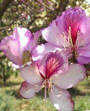 Árbol de Orquídea Bauhinia, Semillas Frescas, planta De Interior/Bonsai, Árbol De Floración Arbusto/