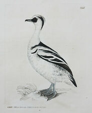 Genuine antique copper engraving of a Smew Duck bird by William Lewin c.1795