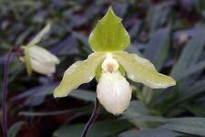 Paphiopedilum Envy Green malipoense x primulinum, Pflanze Frauenschuh, Orchidee