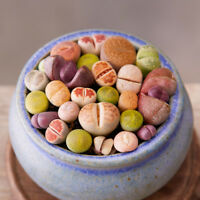 Rare Succulent Seeds Mix Lithops Seeds Bonsai Mini Garden Plant