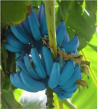 New listing Banana Seeds 100pcs Blue Banana tree seeds Delicious Rare fruit Musa Blue Java