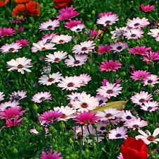 300PCS Gerbera Seeds Single Flowered Hybrids Mix all colors of the rainbow HOT