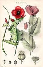 1880 Hand Farbiger Druck ~Botanik~ Mohnblume Samen Seedling Laub Knospen