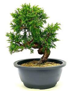Superb Shohin Shimpaku Chinese Juniper Bonsai tree Material SB1 - excellent move