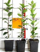 Malus halliana ,  Wildapfel - klassische Art zur Bonsaianzucht  ( Pflanze )